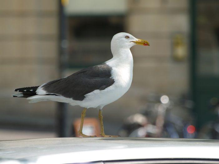 Wie schädlich ist Vogelkot auf dem Autodach?