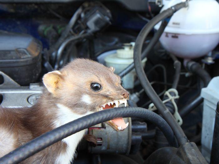 So schützen Sie Ihr Auto vor Marderschäden